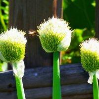 Луковые цветы.... )  Пчеле -работа.. ) :: Любовь К.