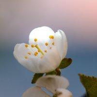 вишня цветет :: Людмила