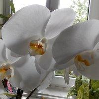 орхідея :: надя кулинич