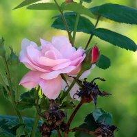 Роза чайная,роза нежная... :: Наталья