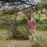 Springbok :: svabboy photo