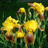 Желтые ирисы :: марина ковшова