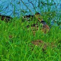 В зелёной травке у пруда... :: Sergey Gordoff