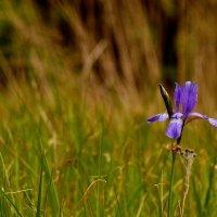 одинокий цветок на лугу :: Александр Прокудин