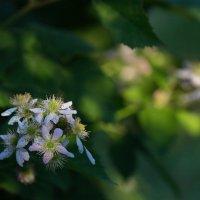 Ежевика цветет :: Виолетта