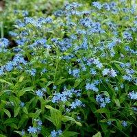 Словно звездочки - малютки Голубые незабудки :: Елена Павлова (Смолова)