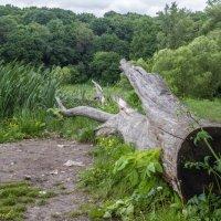 Просто спиленое дерево... :: Сергей Чернов