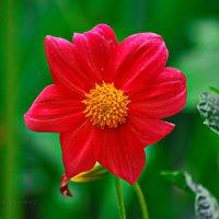 цветок георгина :: Юрий Владимирович