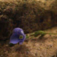 Каменный цветочек :: Олег Фиедориенко