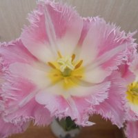 Розовый махровый тюльпан. :: Татьяна