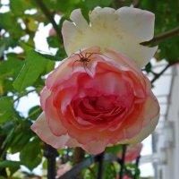 """Славная роза, чудная роза..."" :: Galina Dzubina"