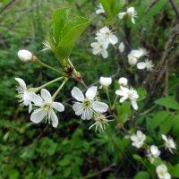 Робкая уральская вишня цветет! :: Елизавета Успенская