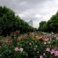 Аллея роз :: Alexander Varykhanov