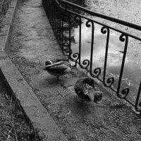 Дикие   утки   в   Ивано - Франковском   парке :: Андрей  Васильевич Коляскин