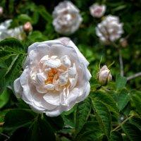Чайная роза. :: *MIRA* **
