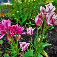 Последние тюльпаны... :: Sergey Gordoff