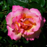 Разнообразные розовые розы. :: Любовь К.