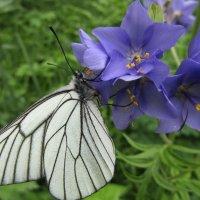 Сроднились бабочки, цветы... :: Galaelina