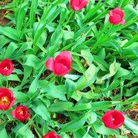 Тюльпаны. :: ВАЛЕНТИНА ИВАНОВА