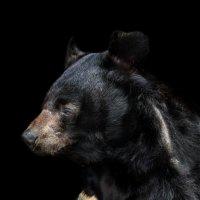 Гималайский медведь :: олег