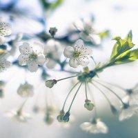 ...цветение это  жизнь. :: Лилия .
