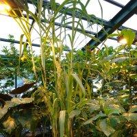 Сахарный тросник :: Galina194701