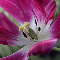 отцветающий тюльпан :: оксана