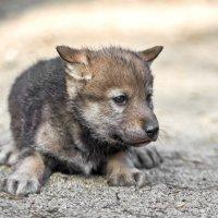Волк :: олег