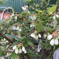 Голубика цветёт :: Светлана Ященко