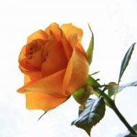 Любите ли вы розы? :: Людмила Селегенева