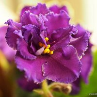 цветы на подоконнике-фиалки :: Олег Лукьянов