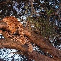 Леопард на дереве :: Ольга Петруша