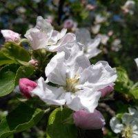 Цвет яблони :: Павел Н