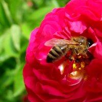 Пчела и роза! :: Наталья