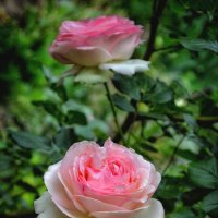Розы... :: *MIRA* **