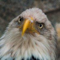 Белоголовый орлан :: Светлана Григорьева