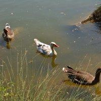 три веселых гуся :: Sergej