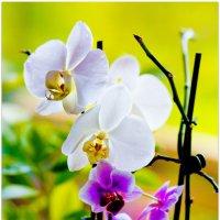 мои орхидеи :: Наталья Мерзликина