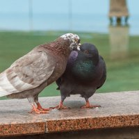 Любовь и голуби. :: Сергей Фельдман