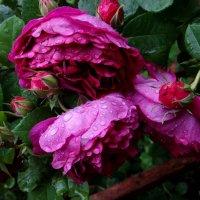 Просто летний дождь прошёл.. :: Антонина Гугаева