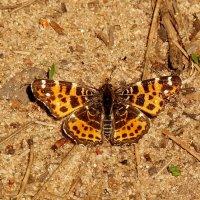 бабочки на земле 1 :: Александр Прокудин