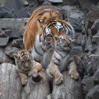 Тигриная семейка :: Владимир Габов
