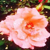 роза после дождя :: Любовь ***