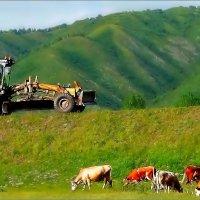 Алтайская пастораль с коровами и грейдером... :: Кай-8 (Ярослав) Забелин