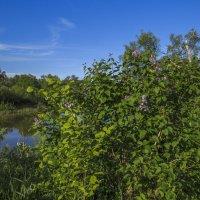 Сирень над рекой :: Сергей Цветков