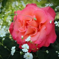 Роза :: Eduard Mezker
