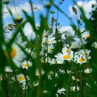 ромашки в поле :: Любовь Потравных