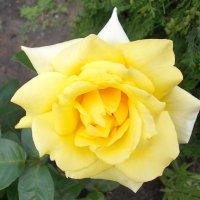 Желтая роза :: Викторина Срыбна