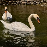 Лебеди парка Родник :: Николай Николенко