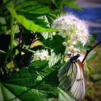 Спирея и бабочка . :: Мила Бовкун